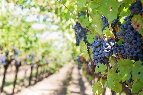 Vineyard